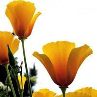 Kalifornische Mohnblumen foto