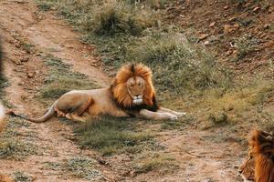 männlicher Löwe auf dem Boden liegend