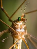 Kranfliege (Moskito-Falke) mit hellgrünen Augen foto