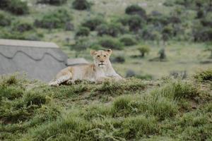 Südafrika, 2020 - Löwin liegt auf grasbewachsenem Hügel