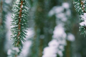 Nahaufnahme von mit Schnee bedeckten Kiefernblättern