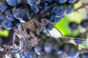 Nahaufnahme der Spinne auf Blaubeeren foto