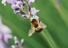 Nahaufnahme der Biene auf einer lila Blume