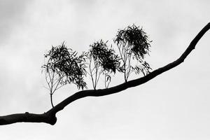 Schwarzweiss einer Silhouette eines Astes foto