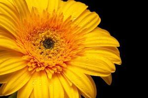 gelbes Gerber-Gänseblümchen foto