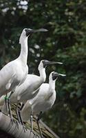 drei weiße Vögel