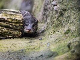 Biber versteckt sich hinter einem Baumstamm foto