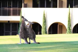 Rothbury, Australien, 2020 - zwei Kängurus stehen vor einem Gebäude