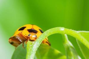 Makrogelber Marienkäfer im grünen Hintergrund der Natur