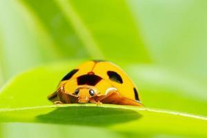gelber Marienkäfer auf einem Blatt