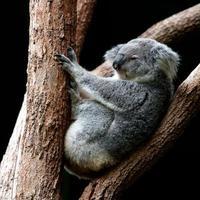 grauer Koala, der auf Baum sitzt