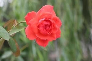 Nahaufnahme einer roten Rose