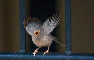 grauer Vogel auf Metallzaun, der sich zum Fliegen vorbereitet