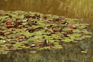 Lilypads in einem Teich