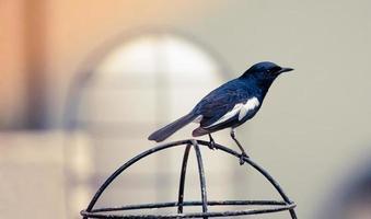 Schwarzweiss-Vogel auf einem Metallkäfig