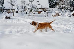 st bernard hund