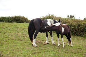Herde weidender Pferde foto