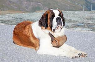 st. bernard hund