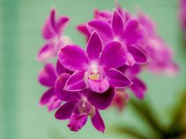 lila Orchideenblume.
