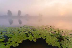 schöne Lilien an einem See