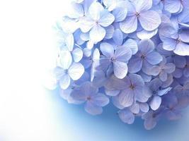 Ein Strauß Lavendelhortensien wirft einen Schatten