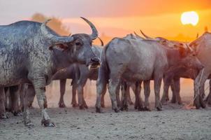 thailändische Büffel