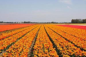 holländische Blumenfeldorangen-Tulpen