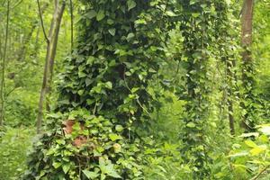 grüner Efeu wächst auf Bäumen