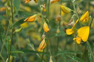 Crotalaria Chachoengsao Blüten