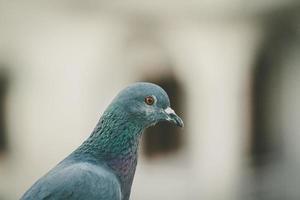 Nahaufnahme einer Taube
