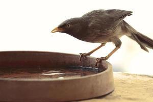 brauner Vogel auf einer Wasserschale