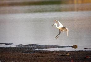 weißer Vogel, der nahe Wasser fliegt