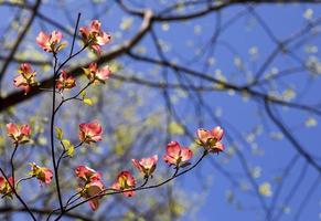 rosa Hartriegel blüht