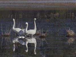 drei Tundra-Schwäne und ihr Spiegelbild