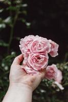 Person, die rosa Rose in der Blüte während des Tages hält