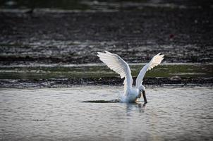weißer Vogel, der für einen Fisch stürzt