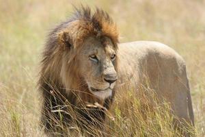 wilder männlicher Löwe, der in einem Feld steht foto