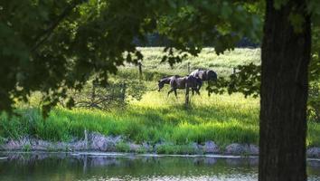 Blick durch die Bäume der schwarzen Pferde auf grünem Gras
