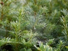 Spinnweben mit Tau foto