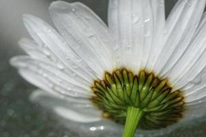 künstlerisches Makro der nassen Gänseblümchenblume, minimalistische Liebesnatur foto