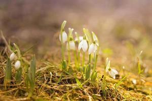 weiße Schneeglöckchen in den Frühlingsregentropfen
