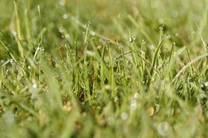grünes Gras mit Tau