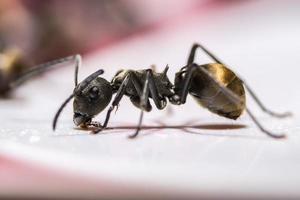 schwarze Ameise auf weißem Hintergrund