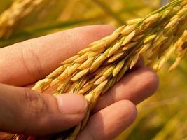 Hand hält reifen goldenen Reis