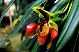 Lady Slipper Orchidee