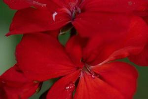 rote Blüten mit Tautropfen