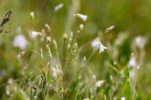 Frühlingsblumen im Gras und Tropfen des Morgentaus