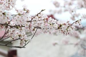 schöne Kirschblüten (Sakura), Onomichi, Japan foto
