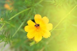 Eine Biene besucht eine Kosmosblume