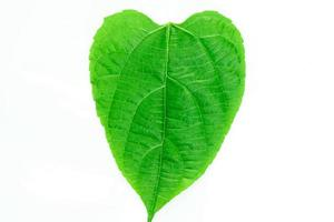 herzförmiges grünes Blatt